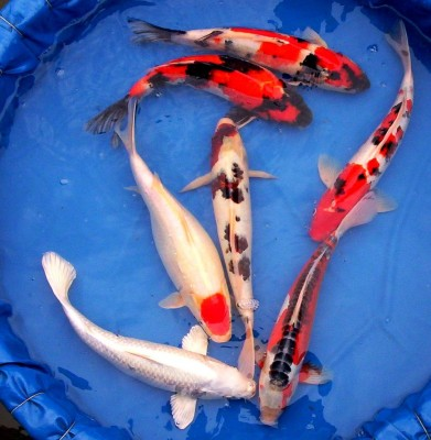 Buying Japanese Koi Fish Online is Beneficial or Not