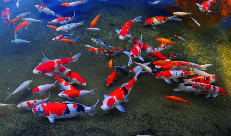 Cost Reduced on Most Expensive Japanese Koi Fish Online (2)